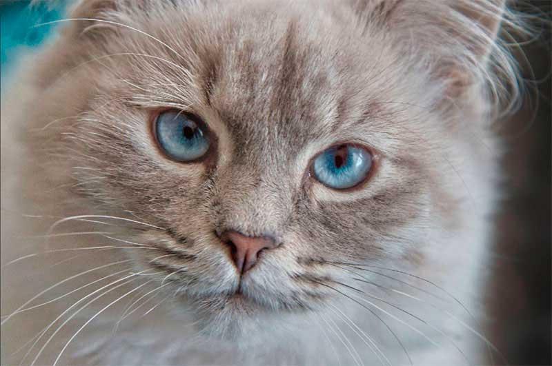 Cuidados de la raza de gato neva masquerade