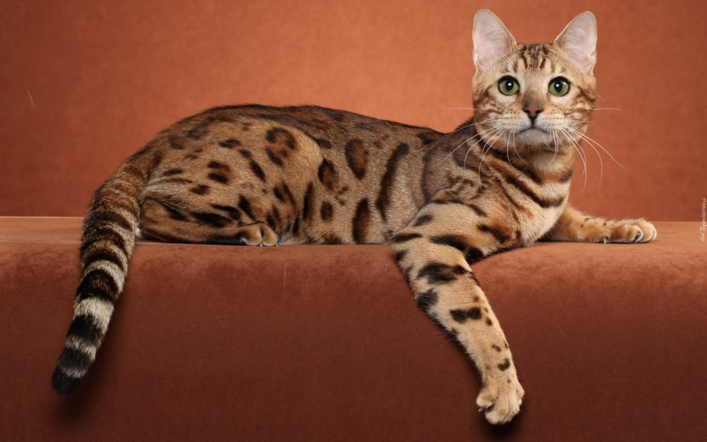 Cuidados de la raza de gato ocicat