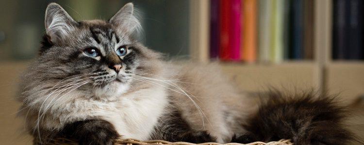 Cuidados de la raza de gato siberiano