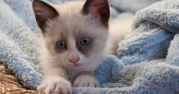 Cuidados de la raza de gato snowshoe