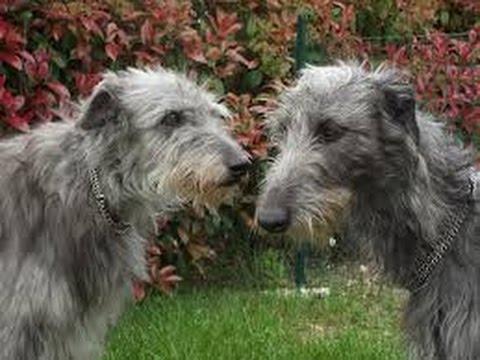 Cuidados del galgo escocés o deerhound
