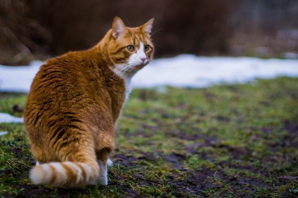 Cuidados del gato atigrado naranja
