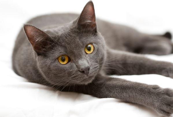 Cuidados del gato korat
