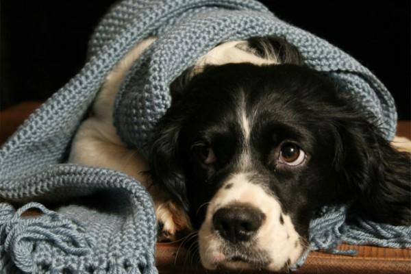 Cuidados para un perro con resfriado