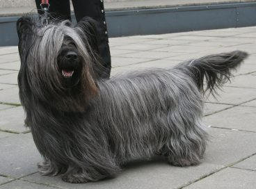 Descubre la peculiar raza de perro Skye terrier