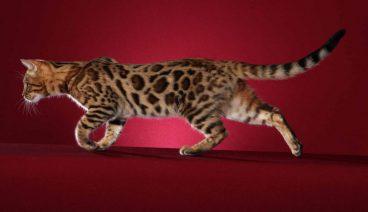 Descubre la raza de gato toyger