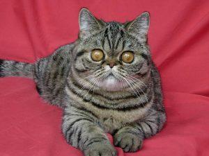 Descubre lo que es un gato tabby