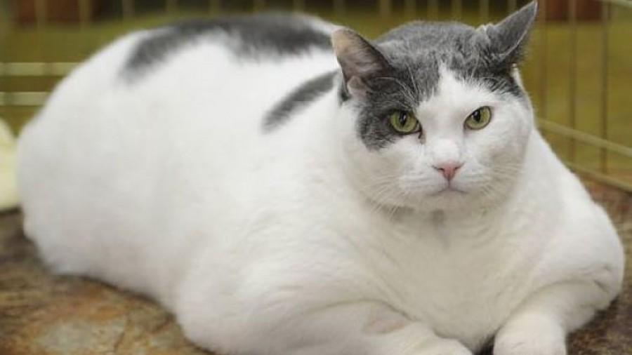 Dieta para gatos obesos