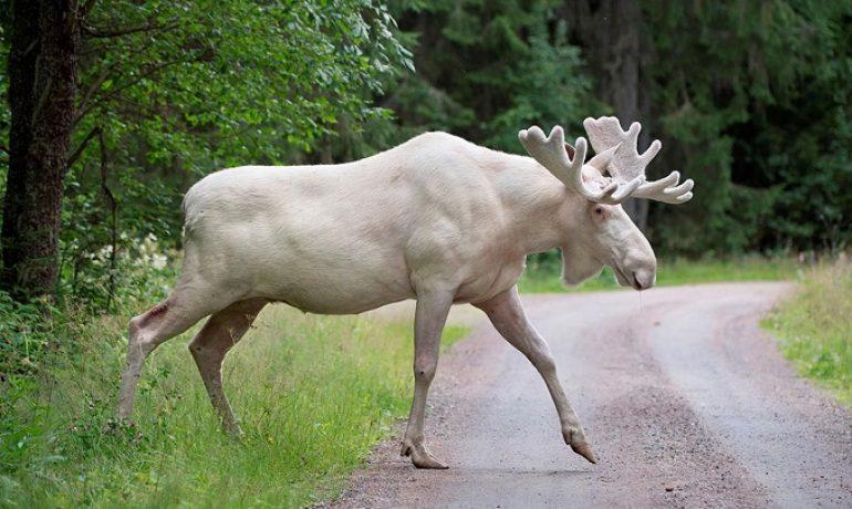 El alce blanco que ha conquistado Suecia