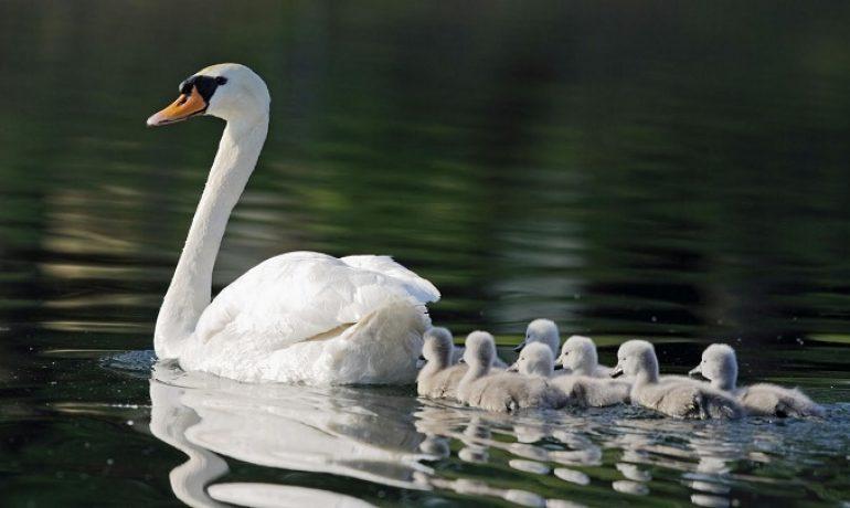 El cisne que limpia la basura de un estanque para nadar con sus crías