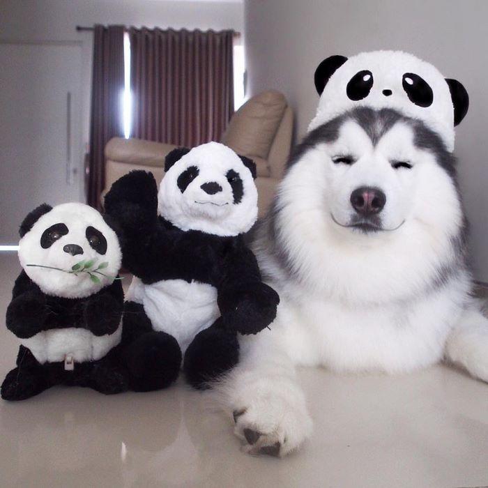 El husky siberiano más feliz del mundo