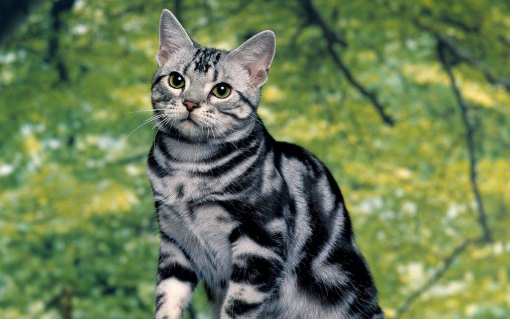 El origen del gato tabby