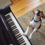 El perro pianista que triunfa en Internet