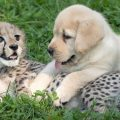 Estos perros han ayudado a guepardos a reproducirse