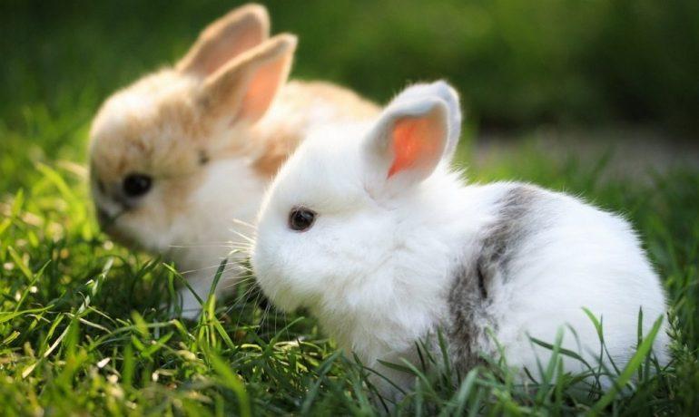 Hablamos de la pasteurelosis en conejos
