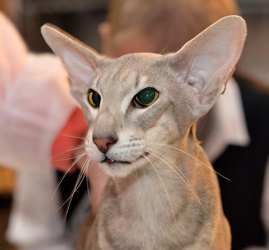 Historia de la raza de gato oriental de pelo corto