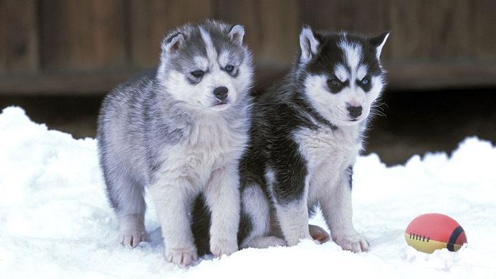 Juego de Tronos provoca que crezca el número de Huskies abandonados