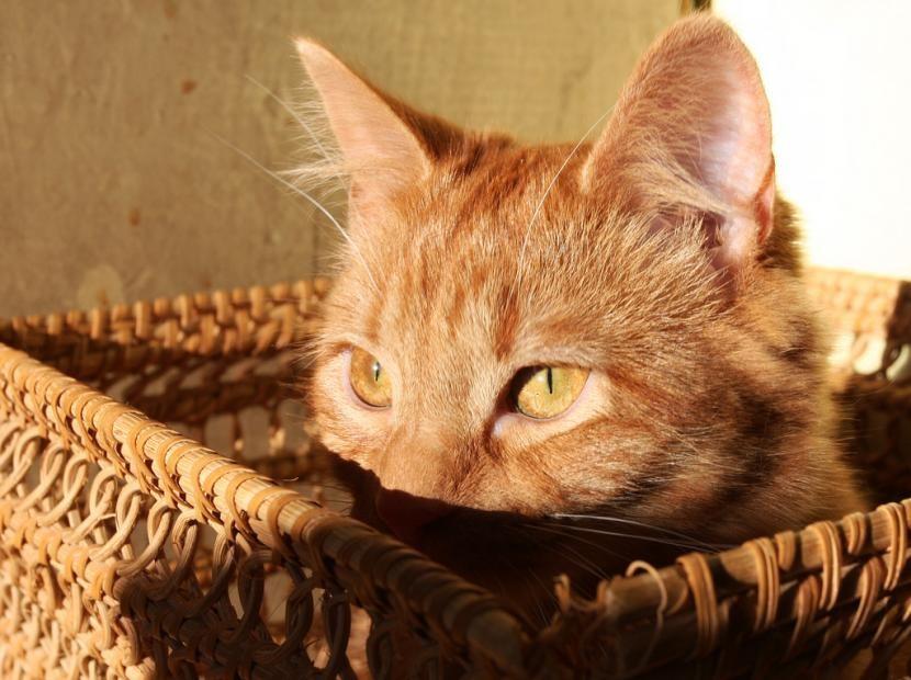 La M de los gatos tabby