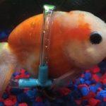 La nueva silla de ruedas para peces