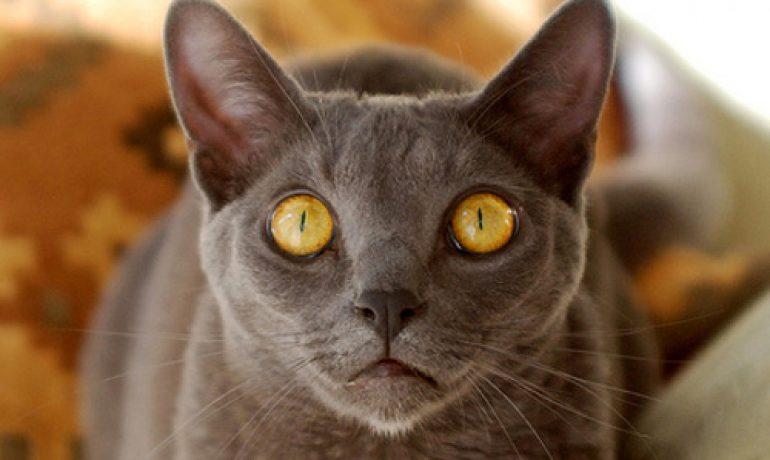 La raza de gato korat