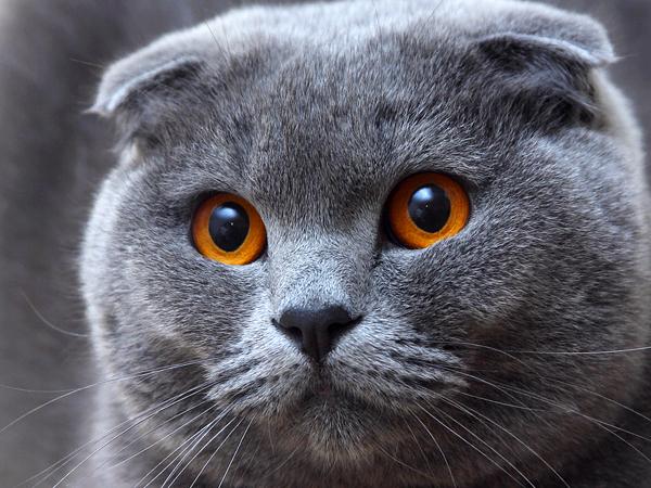Origen de la raza de gato Highland fold