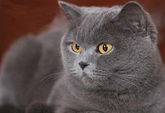 Origen de la raza de gato británico de pelo corto azul