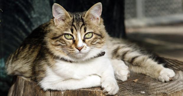Gato europeo de pelo corto caracteristicas