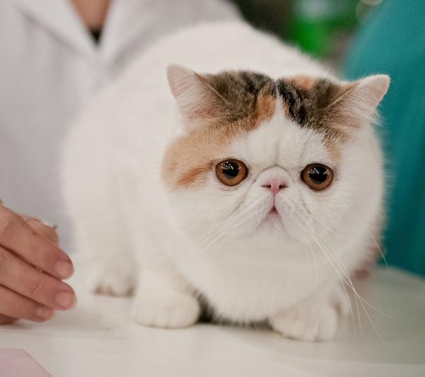 Origen de la raza de gato exótico de pelo corto