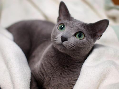 Origen de la raza de gato korat