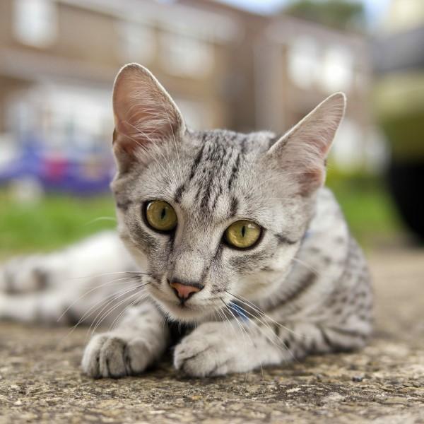 Origen de la raza de gato mau egipcio