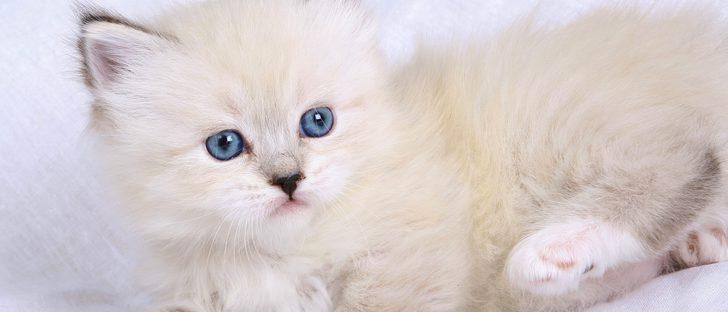 Origen de la raza de gato neva masquerade