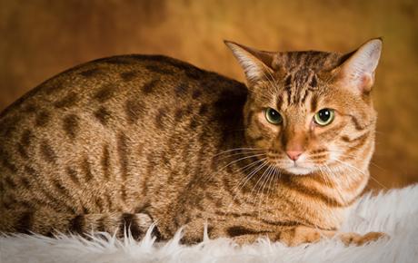 Origen de la raza de gato ocicat