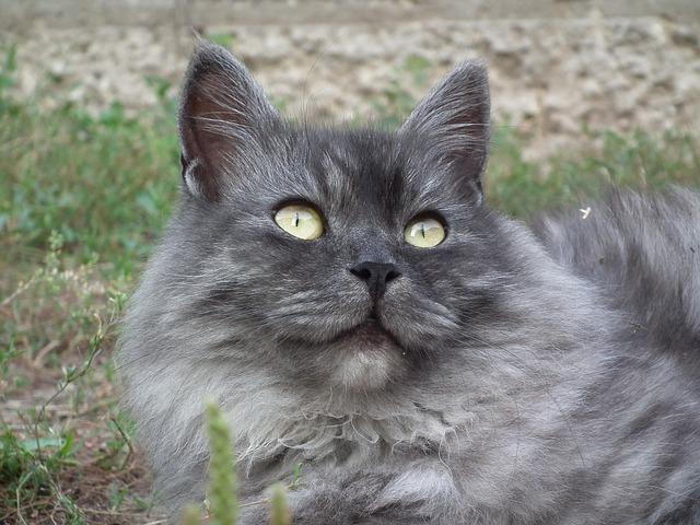 Origen de la raza de gato siberiano