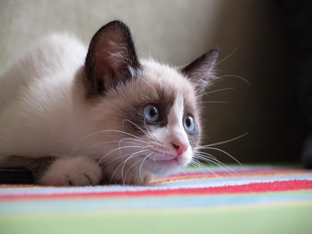Origen de la raza de gato snowshoe
