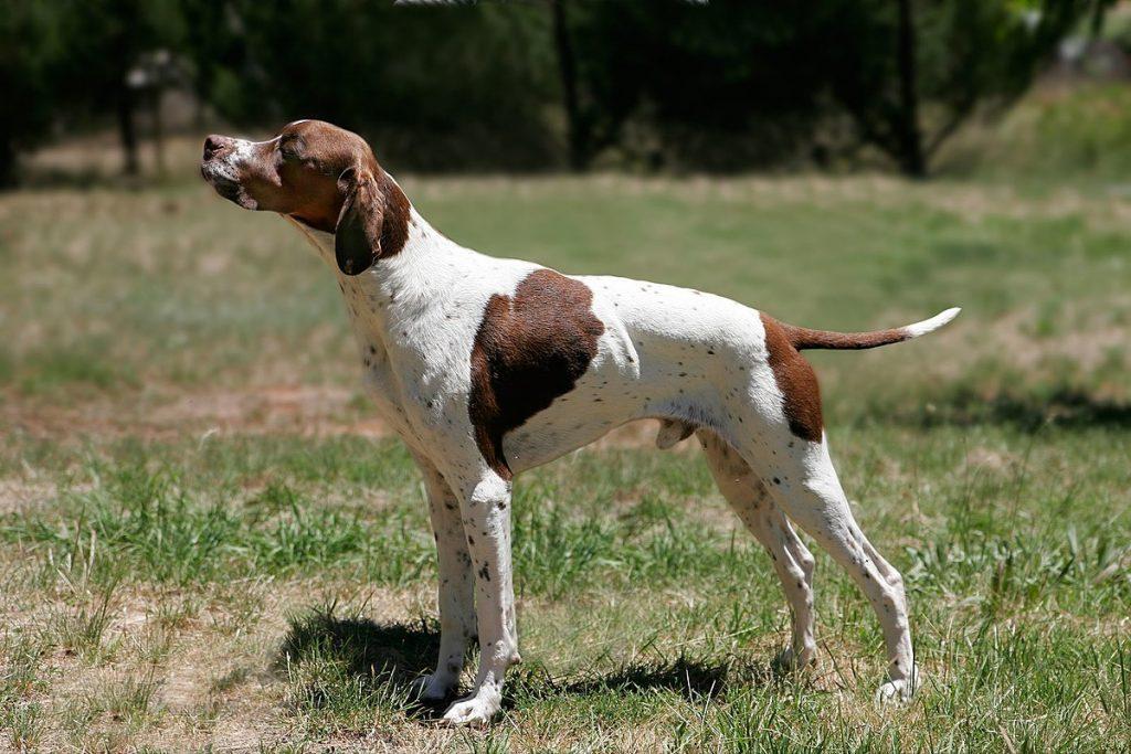 Origen de la raza de perro pointer inglés