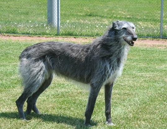 Origen del galgo escocés o deerhound