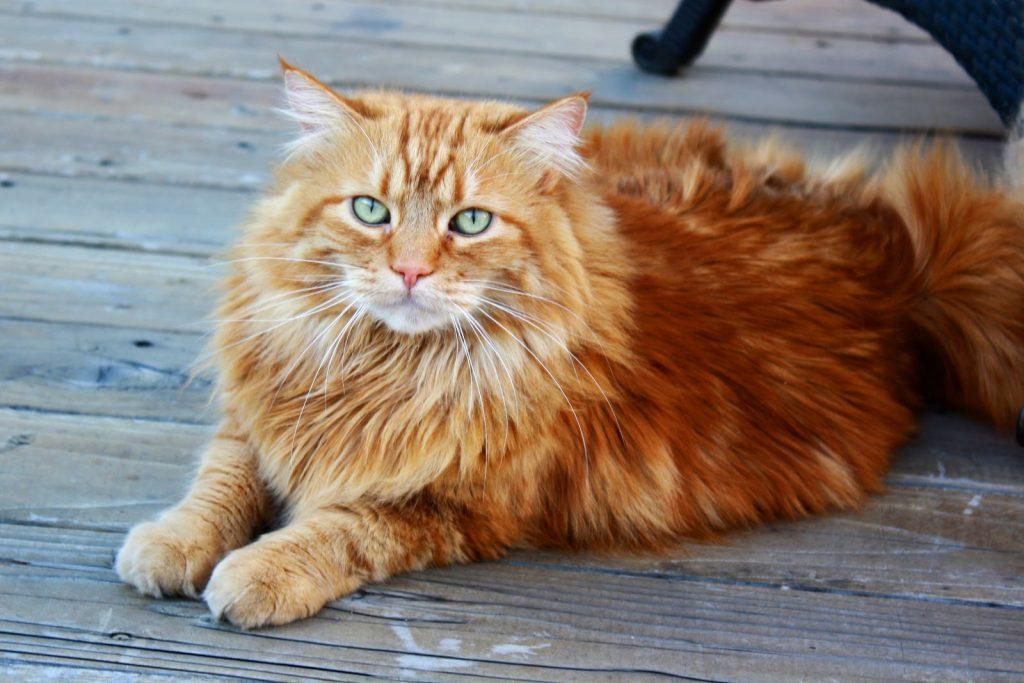 Origen del gato atigrado naranja
