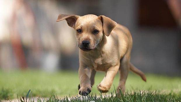 Qué es el edema pulmonar en perros