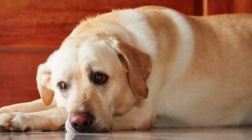 Qué es el estrabismo en perros