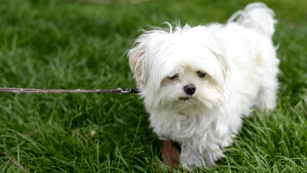 Qué es el gusano del corazón en perros