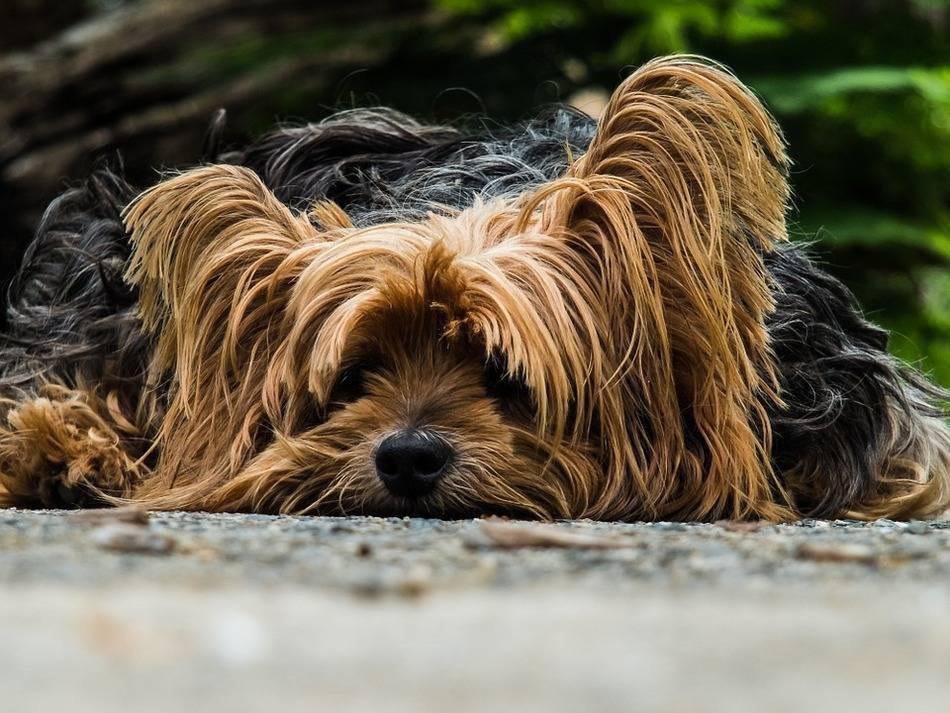 Qué es el soplo cardíaco en perros