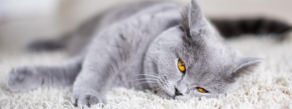 Qué es la cistitis idiopática felina