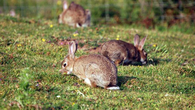 Qué es la coccidiosis en conejos