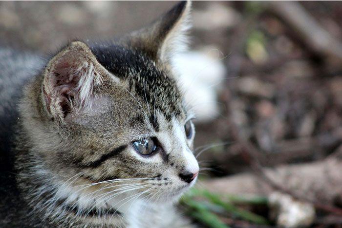 Qué es la diabetes en gatos