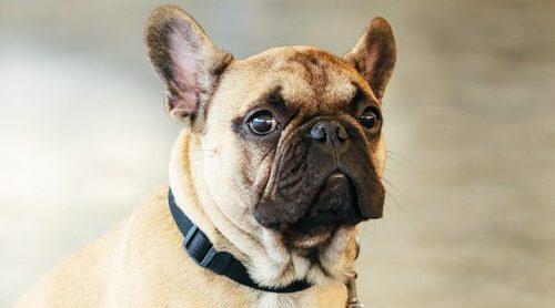 Qué es la disfunción cognitiva en perros