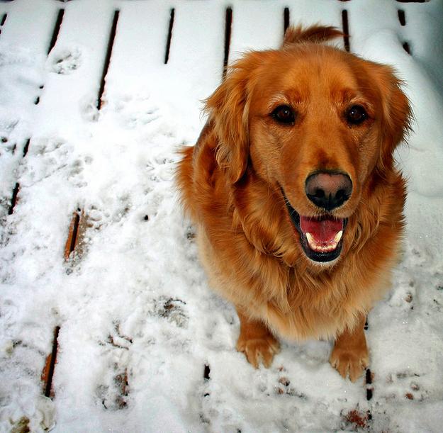Qué es la fiebre en perros