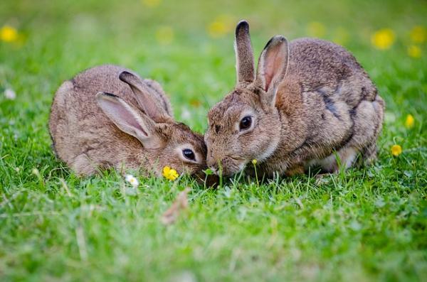 Qué es la pasteurella en conejos
