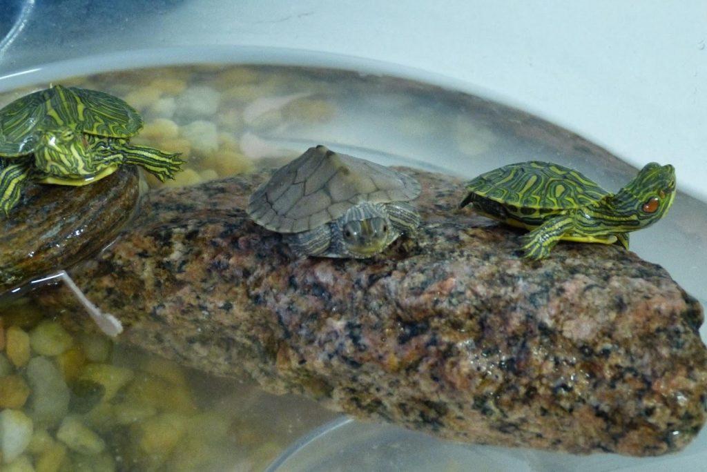 Qué necesita un acuaterrario para tortugas