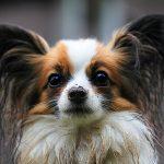Síndrome de la Disfunción Cognitiva en perros
