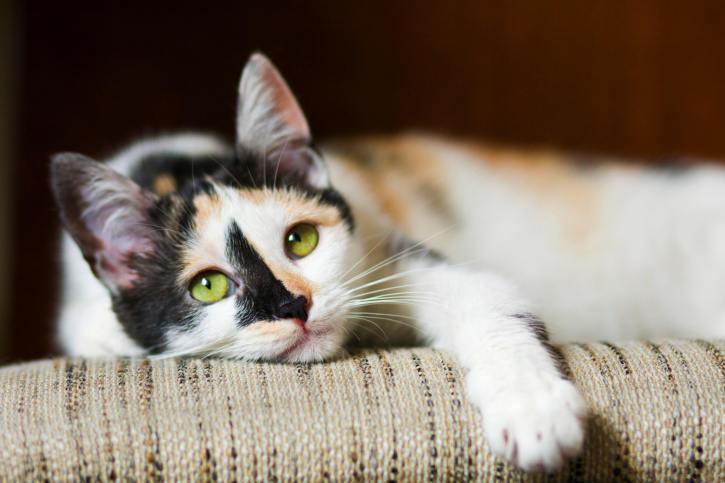 Síntomas de la artritis felina